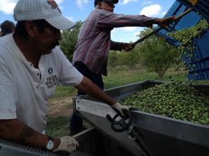 Jose Olivares and Tony Correa, both of Carrizo Springs, dump freshly harvested picual olives into a bin that empties into the oil press. During the harvest, they pick about 10 tons of olives daily and can process 1.5 tons per hour.